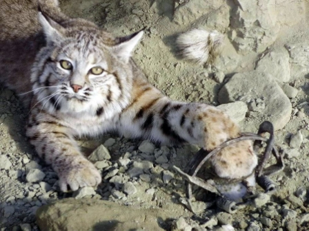 bobcat-trapped